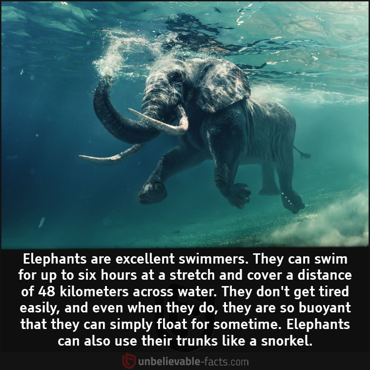 Elephants are excellent swimmers